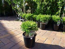 Plants Buxus Korean Micro Micro  200mm pot size 30-35cm hgt $12ea  GORGEOUS
