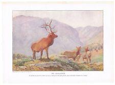 Antique Color Plate Lithograph ~ Bull Elk & His Harem ~ 1917 Mammals of America