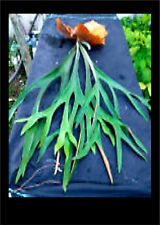 50+ Staghorn Fern Spores -Large Fronds -USA GROW