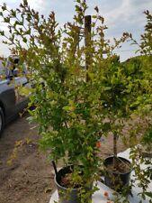 Punica Granatum Granatapfel Busch Granatapfelbusch Höhe: 100 - 125cm Freiland