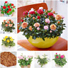 100 Pcs Seeds Rose Bonsai Mini Flowers Natural Growth Pot Plants Home Garden H R