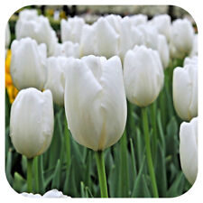 50 Tulip 'Purissima' White TULIPS Spring Flowering Bulbs Flowering Guarantee
