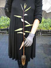 EUCALYPTUS CAMALDULENSIS Eucalipto River Red Gum pianta plant in alveolo