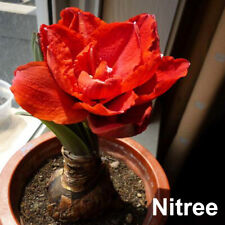 Bloody Red Amarylli Bulb Flower Perennial Hippeatrum Bonai Room Plant Garden