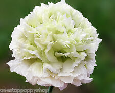 Poppy Seeds Pink and White Papaver Breadseed Poppies #92