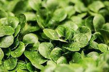 🥗 1000 Samen Feldsalat Verte de Cambrai  wohlschmeckender Salat Rapunzel