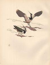 Vintage Imprimé Oiseau~Pirlouit Courtships~Vanneau