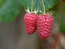 8 graines de FRAMBOISE GEANTE TULAMEEN (Rubus Idaeus)H333 GIANT RASPBERRY SEEDS