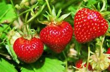 12 June bearing strawberry plants hardy perennial
