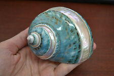 Banded Green Turbo Hermit Crab Sea Shell 3 1/2""