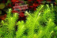 Mayaca Fluviatilis Bunch Live Aquarium Plants Stream Bog Moss Buy2Get1Free*
