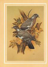 BEAUTIFUL VINTAGE BIRD PRINT ~ WOODPIGEON COLUMBA PALUMBUS WITH DESCRIPTIVE TEXT
