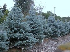 Colorado Blue Spruce.    20 seeds.   trees, seeds Picea pungens USA SELLER