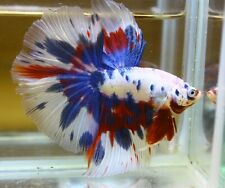 <Have video> BETTA FISH MARBLE HALF MOON (HM) MALE
