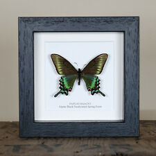 Alpine Black Swallowtail Real Framed Butterfly (Papilio maackii) taxidermy