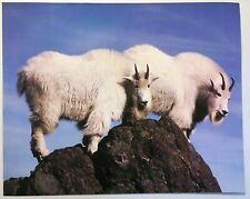 Billy Goat Poster Print 2 Long Hair White Mountain Goats Vintage Wall Art Animal