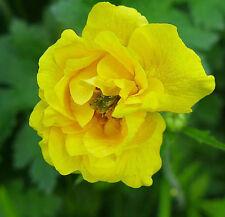 GEUM Lady Stratheden  x 16 small plug plants Perennials