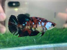 New listing [Ngf - 01003] Live Betta Fish Premium Grade Red Black Koi Galaxy Female