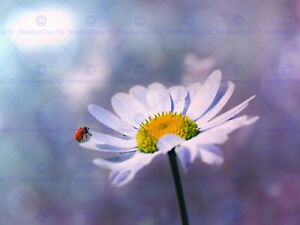 NATURE LADYBUG DAISY FLOWER CLOSE UP BOKEH 12 X 16 INCH ART PRINT POSTER HP2233