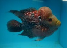 "5""-6"" Red Pearl Short Body Flowerhorn  Male  Live Tropical Fish Healthy"