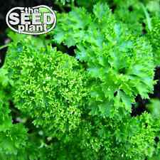Triple Curled Parsley Seeds - 300 SEEDS NON-GMO