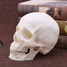 Resin Human Skull Replica Art Teaching Model Medical Realistic 1:1 Adult Size
