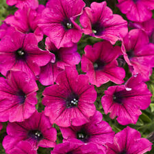 50 Bright Pink Petunia Seeds Containers Hanging Baskets Annual Seed 971