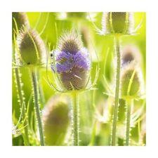 Original Package 30 Velvet Grass Seed Dipsacus Sativus Teasel Cut Flower J009