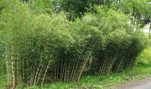 200+ Bamboo Seeds 'UMBRELLA' -Fargesia sp Franch- Rare Privacy Screen US SELLER