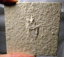 Rare Solnhofen fossil Water bug insect - Jurassic - Germany