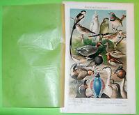 Birds 1896 Prints Meyers Lexikon -Original Chromo Lithografie