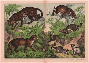 Domestic & Wild Cats, Leopard, Puma, Lynx, fine chromolithograph, original 1887