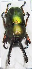 Unique Mount Arfak Stag-Beetle Lamprima adolphinae Male 25-35mm FAST FROM USA