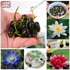 RARE Water Lily Bonsai, Nymphaeaceae Bowl Flower - 5 Viable Seeds - UK Seller