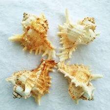 Natural Beautiful top rare real sea Shell Conch aquarium YBK030
