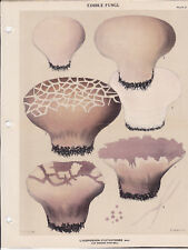 MUSHROOM PRINT. Edible Fungi Of New York. Circa 1900 ~Lycoperdon Cyaniforme~