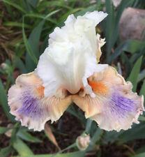 Tall Bearded Iris All About Me Rhizome Perennial plant