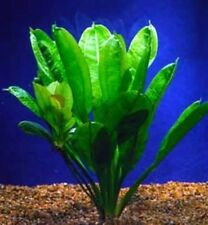 Live Rosette Sword Aquarium Plant - Easy to Grow, val, java, marimo,