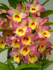 Orchid Dendrobium Asian Beauty 'Eden' 13, very desirable and beautiful