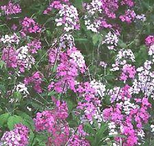 Hesperis Purple & White Mix / Sweet Rocket / 500 Seeds
