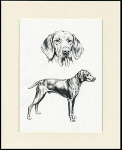 HUNGARIAN VIZSLA LOVELY DOG SKETCH PRINT MOUNTED READY TO FRAME