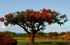 Rojo Africano Tulip árbol! Ideal Planta De Interior O Bonsai, Tropical árbol, las semillas frescas!