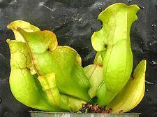 Sarracenia purpurea venosa over 7 years old, shipped potted