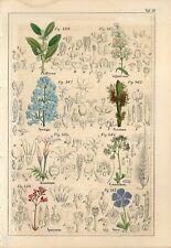 1842 PERIWINKLE JASMINE AMERICAN ASH LILAC FLOWERS Hand/Colored Print Petermann