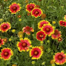 1/4 Lb Blanket Flower Wildflower Seeds - Everwilde Farms Mylar Seed Packet