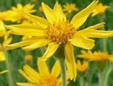 Arnica montana / Rare Alpine Herb / Medicinal Plant / 20 Seeds