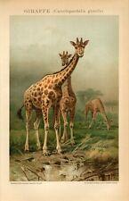 1895 GIRAFFE Antique Chromolithograph Print F.Specht