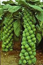 Heirloom Brussel Sprout Vegetable seeds-  ''Catskill'' 100+ Seeds/pack