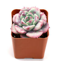 "Rare Succulent Live Plant Echeveria lala Home Garden Favor in 2"" Planter Rosette"