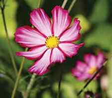 35+ Cosmos Pink Picotee Flower Seeds / Drought Tolerant / Long Lasting Annual